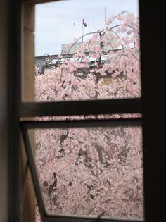 京都府庁旧本館の桜