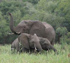 Three Elephants, Phinda Game Reserve