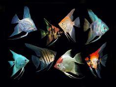 Freshwater Aquarium Plants, Saltwater Aquarium Fish, Freshwater Fish, Angel Fish Tank, Discus Fish For Sale, Iguana Pet, Coral Reef Aquarium, Green Iguana, Aquarium Backgrounds