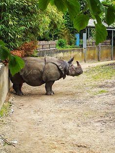 Indische Neushoorn  Zoo Planckendael (B)