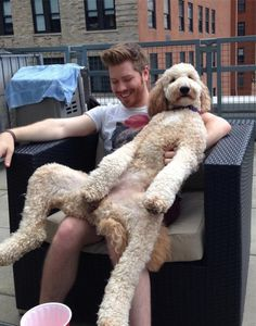 The dog that just wants to hang out on your lap: | 21 Dogs That Are Completely Mistaken About How Big They Are