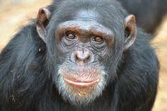 New lawsuit seeks 'legal personhood' for a chimpanzee