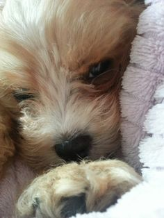 Harry my cavoodle puppy ♥