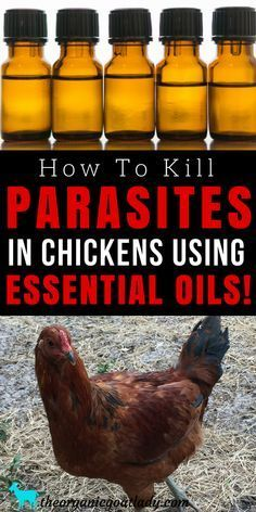 How To Kill Parasites In Chickens Using Essential Oils! Raising Chickens For Beginners Natural Wormer For Chickens Natural Chicken Care Essential Oil Recipes Homestead Help For Beginners Self Sufficiency Portable Chicken Coop, Backyard Chicken Coops, Diy Chicken Coop, Chickens Backyard, Urban Chicken Coop, Keeping Chickens, Raising Chickens, How To Raise Chickens, Chicken Feed