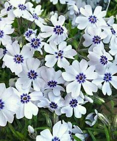 Perennial plants, also known as herbaceous plants, live for 2 or more years & flower every year. Buy perennial & biennial plants from our UK online range now. Hardy Perennials, Flowers Perennials, Planting Flowers, Phlox Flowers, Fast Growing Flowers, Fast Flowers, Growing Tree, White Flowers, Front Yards