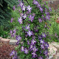 How & Why To Prune Your Clematis