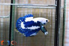 Koi Betta, Live Art, Siamese Fighting Fish, Art Of Living, Aquarium Fish, Photo Displays, Fish Tank, Marble, Action