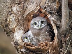 Pair of Owlets by Sanjeev Aurangabadkar on 500px