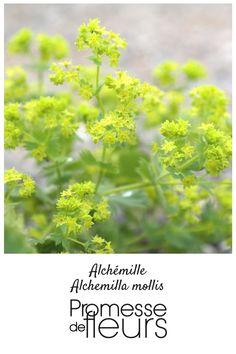 L'Alchemilla mollis, une vivace couvre-sol aux feuilles jaune anis. Cette vivace est superbe en bouquet et au pied des rosiers.