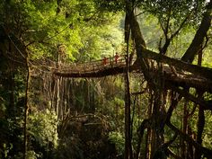 世界で最も雨の降るインド東北部のジャングルにある村々の特異な光景 > マウシンラム村近くのジャングル深くにある現在製作中の「木の根の橋」を歩く地元の少年たち。 竹で作られた枠組みにゴムの木の根を巻きつけて徐々に固定してきます。6〜8年後に竹が腐れ落ちた時には、人が乗っても大丈夫な強度を持った「木の根の橋」が出来ています。