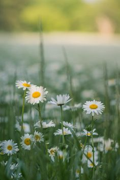 field of daisies | flowers + nature photography