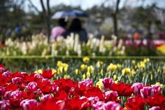 Tulips and couples sitting on bench in a flower festival, Taean, South Korea