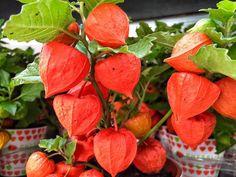 Queste #chineselanterns sono perfette per l'autunno. #florpagano #physalisalkekengi