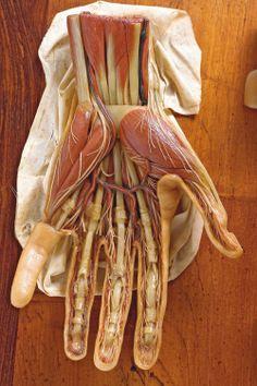 Clemente Susini. Organo del tacto: Tabla XIV, h. 1803-1805. Colección de las ceras anatómicas de Clemente Susini de la Universidad de Cagliari.