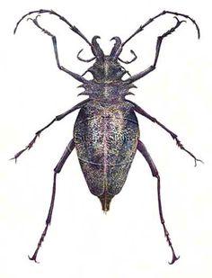 Longhorn Beetle    © Susan Shimeld