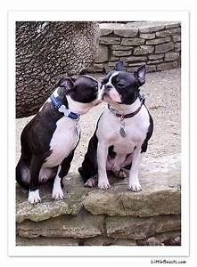 Boston Terrier Photo of the Week Caption Contest Winners - Sparky and Petey