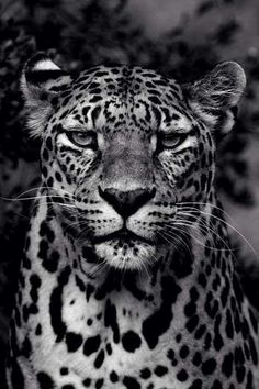 Sognando l& - … The Effective Pictures We Offer You About diy A quality picture can tell you - Animals And Pets, Baby Animals, Cute Animals, Beautiful Cats, Animals Beautiful, Jaguar Animal, Leopard Tattoos, Gato Grande, Black And White Picture Wall