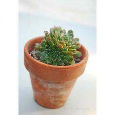Tacitus bellum - Succulents - Avant Gardens Nursery & Design