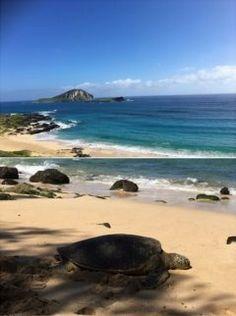 仕事でハワイにきたのでゴルフを楽しんでいます コース側の海岸ではウミガメさんがお散歩 www tags[海外]