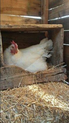 Chickens. — chickenpet: Chicken