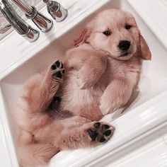 GOLDEN RETRIEVER PUP BATH TIME :D  <3 <3 <3 <3 ~ unless Pup just likes sleeping in the sink :D