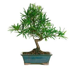 The amazing PODOCARPUS BONSAI TREE for sale adds spice to your home or office if you are in need of a unique decoration. This bonsai tree also make a great gift idea for Christmas, Mother's Day, or a birthday.