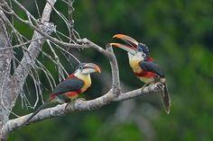 Foto araçari-mulato (Pteroglossus beauharnaesii) por Luiz Ribenboim | Wiki Aves - A Enciclopédia das Aves do Brasil
