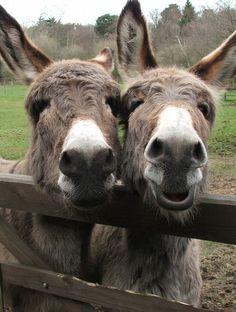 donkey = burro :) of all donkey pics you take will look like this. Is it a toy? Donkey Pics, Cute Donkey, Mini Donkey, Funny Donkey Pictures, Farm Animals, Animals And Pets, Funny Animals, Cute Animals, Beautiful Horses