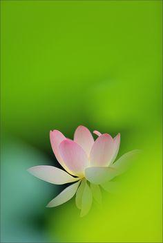 Lotus Flower and backlit leaves