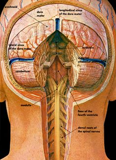 """Cross section illustration of the posterior brain Use code """"FOCUS20"""" for 20% OFF at checkout on our website!"""