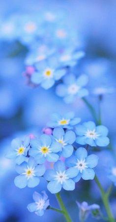 Myosotis - Forget me not My Flower, Flower Power, Beautiful Flowers, Cactus Flower, Flower Art, Beautiful Pictures, Deco Floral, Flower Wallpaper, Spring Flowers