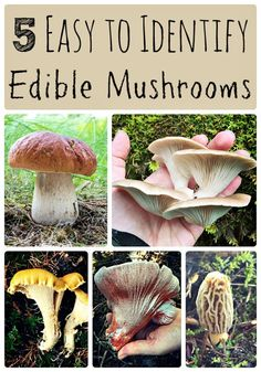 5 Easy to Identify Edible Mushrooms If you are a beginning mushroom hunter, these five easy to identify edible mushrooms are a great place to start. Learn how to forage for wild mushrooms! Edible Wild Mushrooms, Growing Mushrooms, Stuffed Mushrooms, Mushroom Identification, Leaf Identification, Edible Wild Plants, Mushroom Hunting, Mushroom Fungi, Mushroom Art