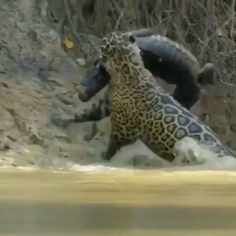 That is one badass puddytat! This Jaguar is captured taking this armour-plated chunk of muscle from the river Funny Animal Videos, Cute Funny Animals, Cute Baby Animals, Rare Animals, Animals And Pets, Animal Jaguar, Beautiful Creatures, Animals Beautiful, Tier Fotos
