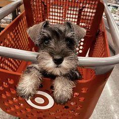 Standard Schnauzer, Miniature Schnauzer Puppies, Miniature Dogs, Schnauzer Puppy, Beagle Dog, Schnauzers, Baby Puppies, Cute Puppies, Cute Dogs