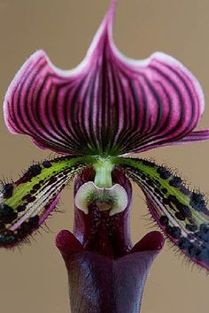 use the stripes and spots with a lime green? close up of an orchid (paphiopedilum) Strange Flowers, Unusual Flowers, Unusual Plants, Rare Flowers, Exotic Plants, Amazing Flowers, Beautiful Flowers, Orchidaceae, Carnivorous Plants