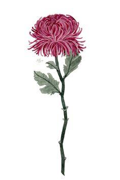 Pink Chrysanthemum Art Print