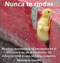 Cute animal pictures with quotes · Never Give Up Duck Animals And Pets, Baby Animals, Funny Animals, Cute Animals, Beautiful Birds, Animals Beautiful, Baby Ducks, Tier Fotos, Mundo Animal