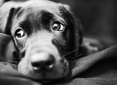 Labrador look