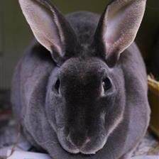 Dusty is looking for a home with her handsome boyfriend Rusty. They are lovely rabbits once they get to know you. They are looking for their new home to have a large hutch or shed with a 10ft by 5ft run attached to it. If you think you can offer this gorgeous pair a loving home please contact the Godmanchester Shelter.