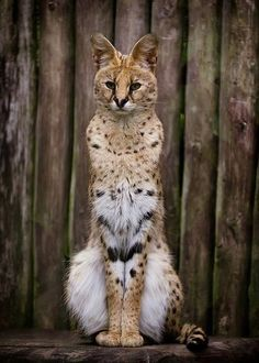 "Known in Afrikaans as Tierboskat, ""tiger-forest-cat"", the Serval is a medium-sized wild African cat."