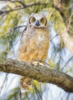 Great Horned Owlet, Florida