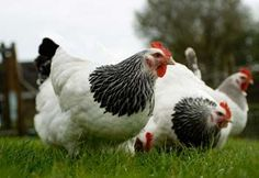 Information and advice on how to keep chickens. From our beginners guide to keeping chickens, to information about hatching and incubating eggs. Hen Chicken, Chicken Eggs, Chicken Coops, Keeping Chickens, Raising Chickens, Laying Hens, Chickens And Roosters, Fancy Chickens, Gardens