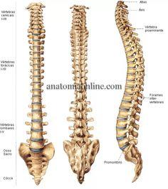 Anatomia Online - Ossos da Coluna e do Tórax