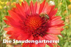 Gaillardia x grandiflora \'Burgunder\'