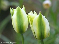 Green tulips.  For more on using colors effectively in planting design - check this out:  http://www.my-garden-school.com/course/designing-with-plants/
