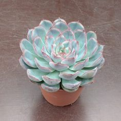 Echeveria 'Perle von Nürnberg' is a popular hybrid and one of the most beautiful of all Echeveria plants. Succulent Gardening, Cacti And Succulents, Planting Succulents, Cactus Plants, Types Of Houseplants, Small Flower Gardens, Eco Garden, Inside Plants, Cactus Y Suculentas
