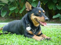 lancashire heeler dog photo | ... Of The Group II Part. INVITATION ONLY in RARE & ENDANGERED DOG BREEDS