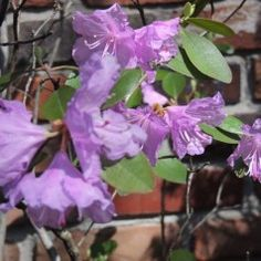 My Rhododendron Confession