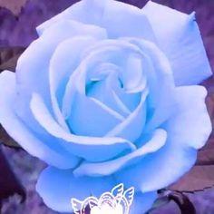 Good Night Flowers, Good Night I Love You, Good Morning Images Flowers, Love You Gif, Good Night Gif, Good Morning Photos, Morning Pictures, Beautiful Rose Flowers, Beautiful Gif