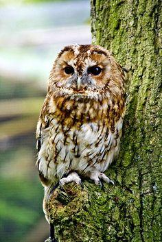 Owl Photos, Owl Pictures, Owl Bird, Pet Birds, Strix Aluco, Tawny Owl, Owl Tattoo Design, Owl Always Love You, Beautiful Owl